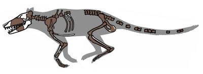 800px-Pakicetus fossil