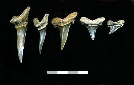 File:Scapanorhynchus teeth.jpg