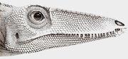 Coelophysis rhodesiensis