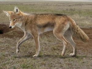 Lobo de fonelas