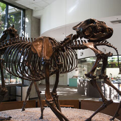 Esqueleto. Detrás se ve el de un <a href=