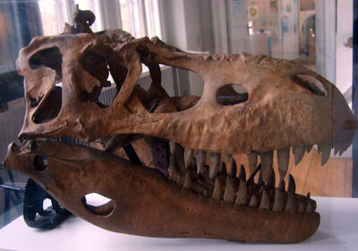 Albertosaurus cráneo