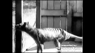 Footage of the last Thylacine (1936)