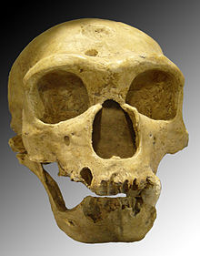 220px-Homo sapiens neanderthalensis