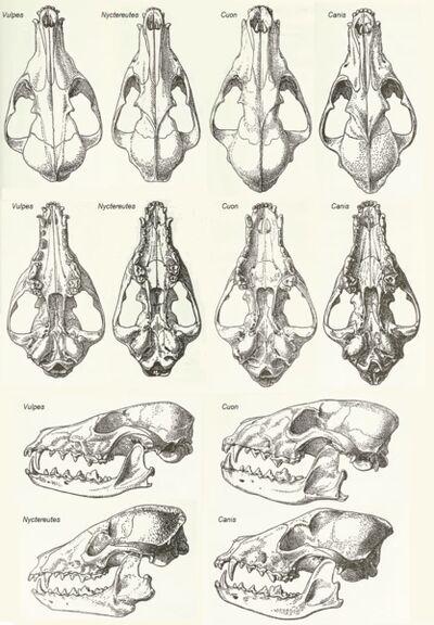 Canidae cráneos