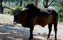 250px-Indian Aurochs B p namadicus 3
