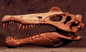 Spinosaurus Skull