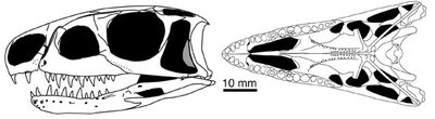 Euparkeria cráneo