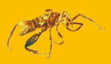 Aprenoperissus burmanicus