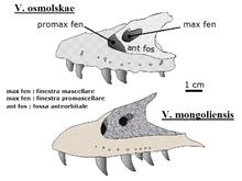 220px-Velociraptor osmolenskkae-mongoliensis skull