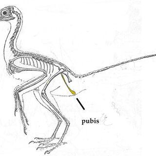 Diagrama de Archaeopteryx del libro de Heilmann (1926)