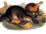 Ornithorhynchus maximus