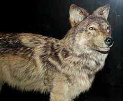 250px-Stuffed Newfoundland wolf