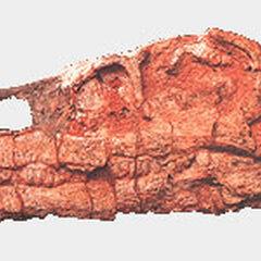 Cráneo de Riojasaurus