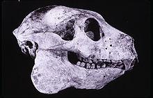 220px-Babakotia skull 001
