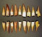 Spinosaurus Teeth