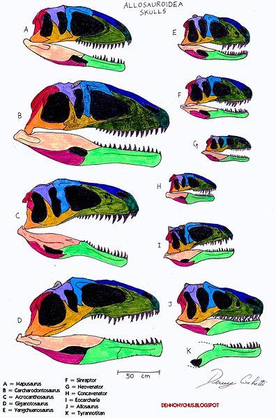 396px-Allosauroidea skull comparison