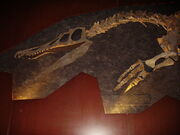 800px-Baryonyx head and pectoral limb detail NHM