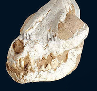 Canis cedazoensis 2