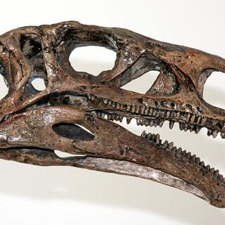 Cráneo de Plateosaurus.