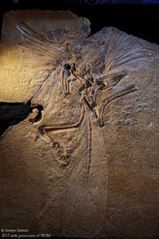 Archeopteryx London Specimen