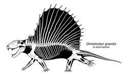 Dimetrodonskeletal