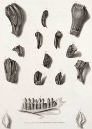 Iguanodon teeth, (Mantell, 1825)