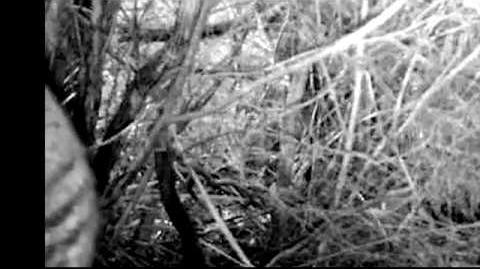 Striped animal on trail camera in Tasmania