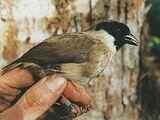 Чернолицая гавайская цветочница