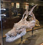 Achelousaurus (MOR 485)