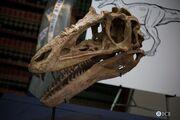 Alioramus skull 03