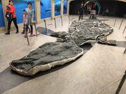 Shonisaurus sikanniensis royal tyrrell museum