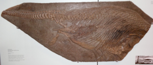 Specimen of the ichthyosaur Stenopterygius collected in 1749 from a quarry near Holzmaden