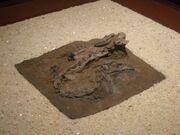 Panguraptor skeleton