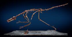 Buitreraptor fossil