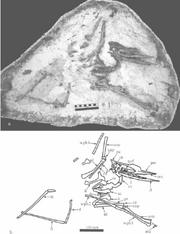 Noripterus complicidens (GIN1251010)