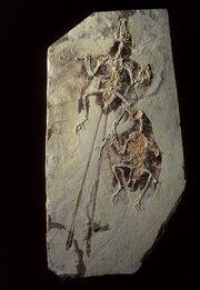 Confuciusornis fossil 01