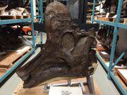 Corythosaurus intermedius NMC 8503