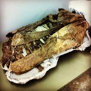 Daspletosaurus Skull 01