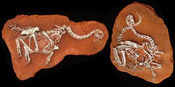 Citipati fossil 02