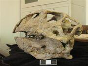 Psittacosaurus skull