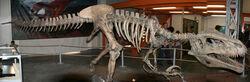 Megaraptor-skelet-1-m