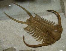800px-Trilobite Ordovicien 8127