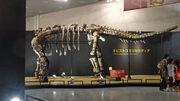 Opisthocoelicaudia fossil