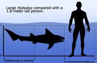 Hybodus-size