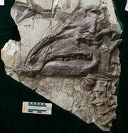 Jinzhousaurus skull fossil