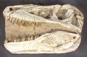 Tarbosaurus skull 01