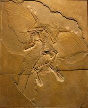Archaeopteryx Berlin Specimen
