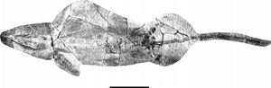 A juvenile individual of Guanlingsaurus (GNG dq-50) from the Guanling Biota in ventral view. Scale bar equals 50 cm.