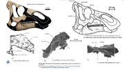 Kundurosaurus skull